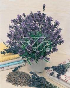 Lawenda - cenna roślina nie tylko w ogrodzie