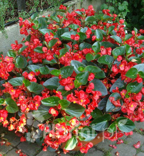 Begonia 'Dragon'