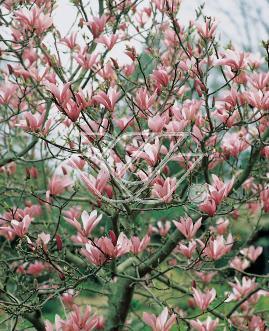 Pamiętajmy o odpowiednim doborze roślin projektując nasadzenia wokół magnolii