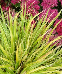 Hakonechloa Stripe it Reach