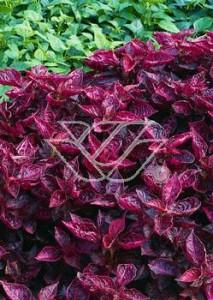 Iresine lindenii - urocza masa czerwonych liści