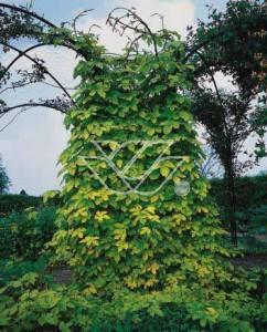 Chmiel zwyczajny 'Aureus' - odmiana o złotych liściach