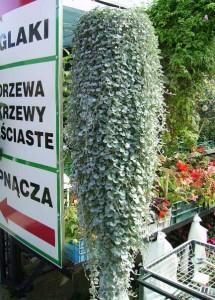 Dichondra - moc srebrnych liści