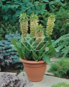 Eukomis - przyciąga uwagę niebanalnymi kwiatostanami