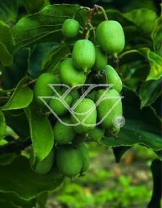 Niezwykle smaczne owoce aktinidii ostrolistnej 'Issai'