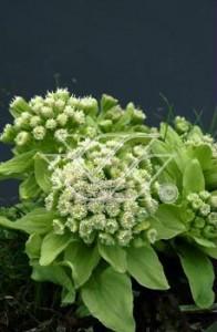Intrygujące kwiaty lepiężnika japońskiego