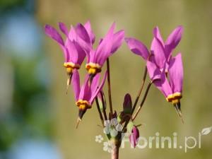 Urocze kwiaty bożykwiatu