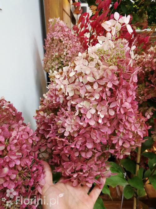 Hortensja Bukietowa Vanille Fraise Doniczka 3 Litrowa Hydrangea Paniculata C3