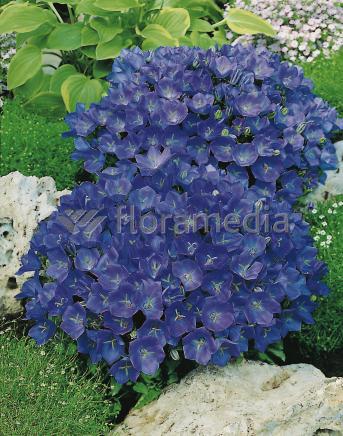Dzwonek Karpacki Blue Clips Campanula Carpatica
